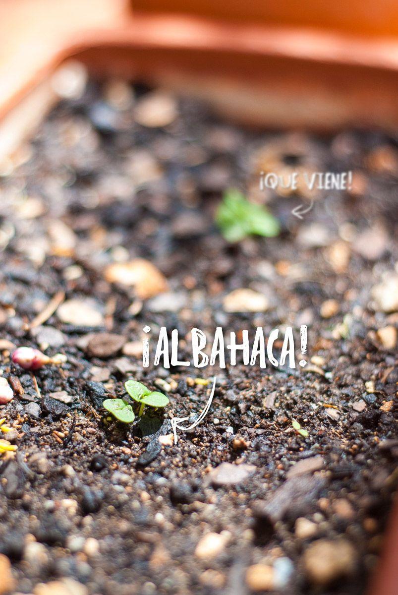 Albahaca germinada