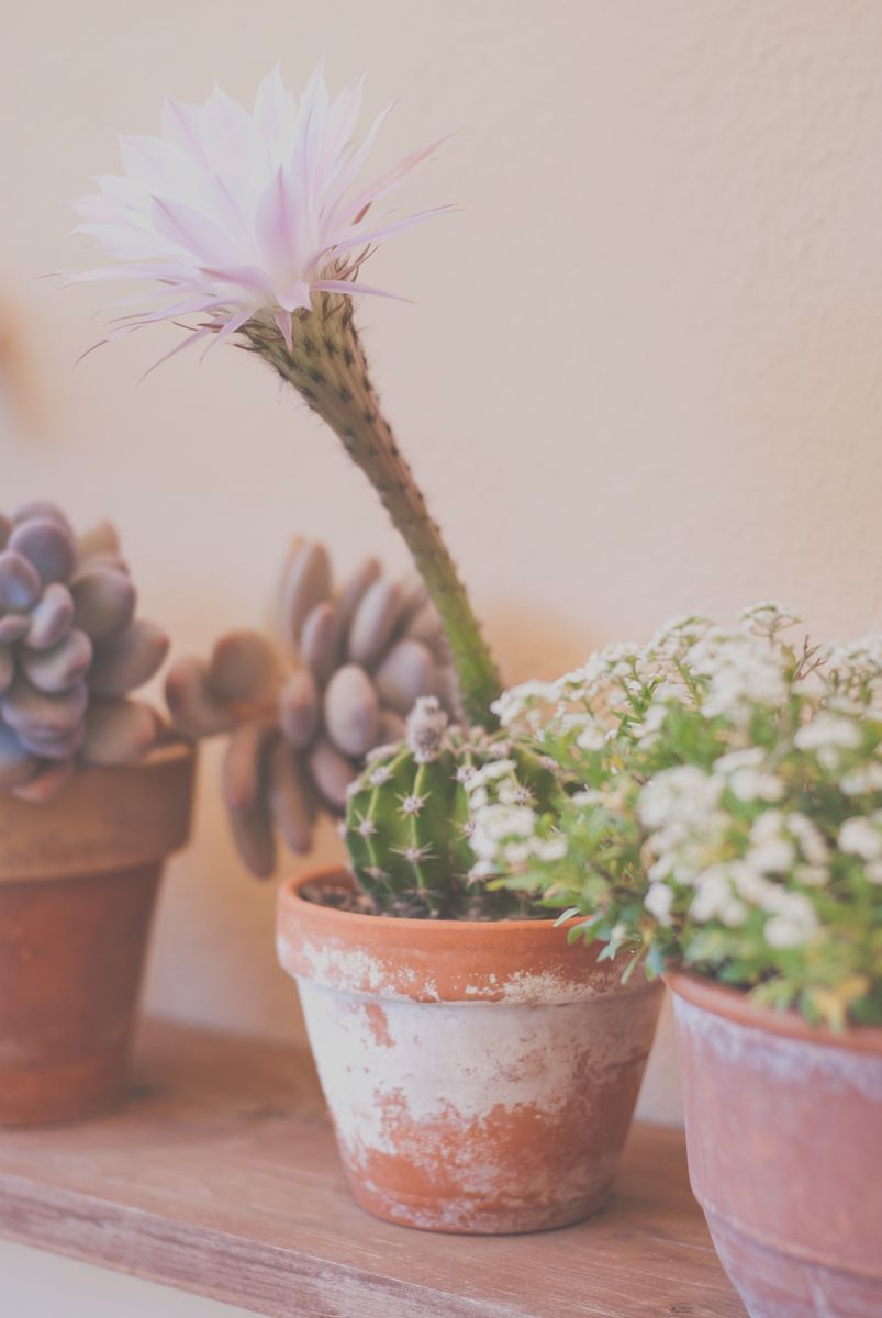 cactus_flor