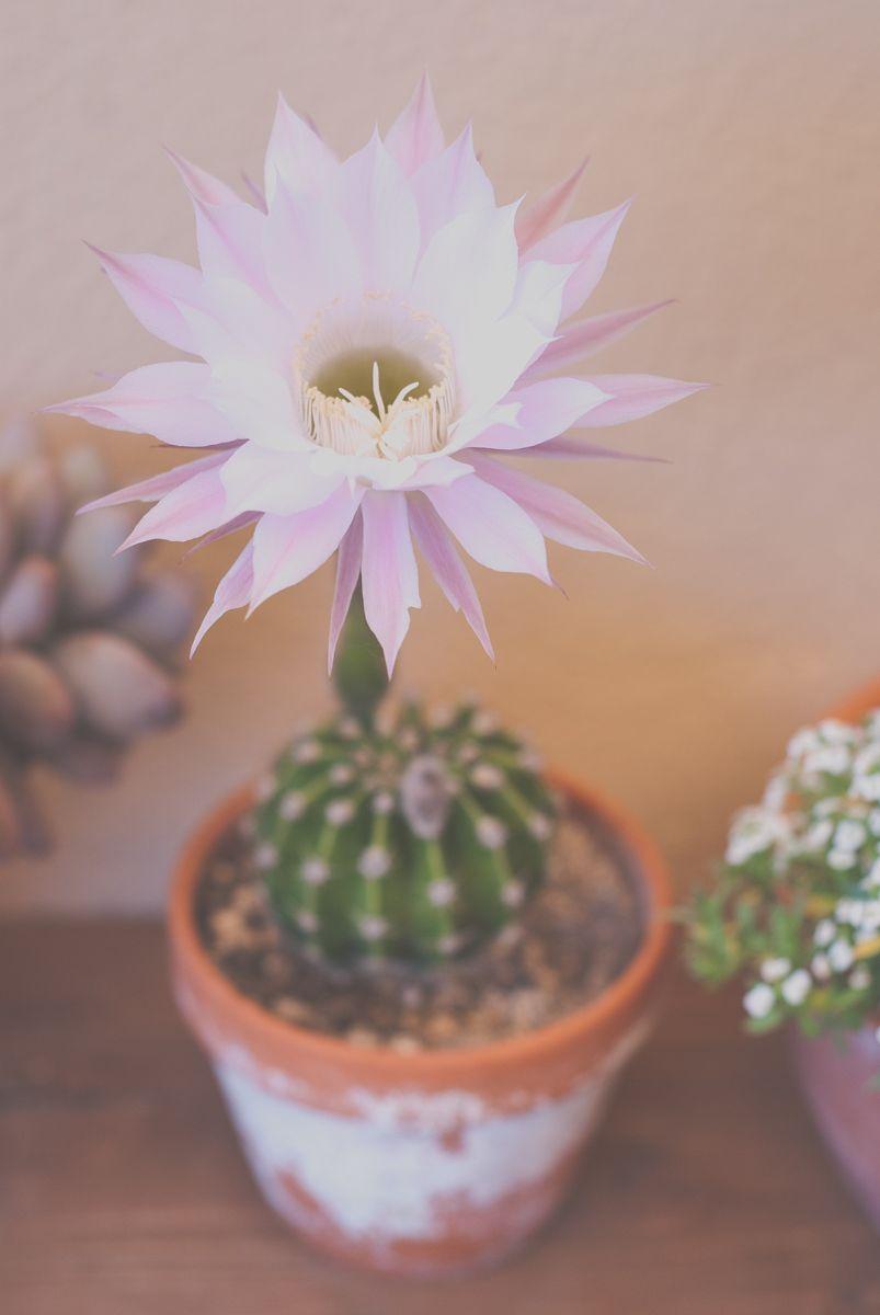 Pequeño cactus con flor grande
