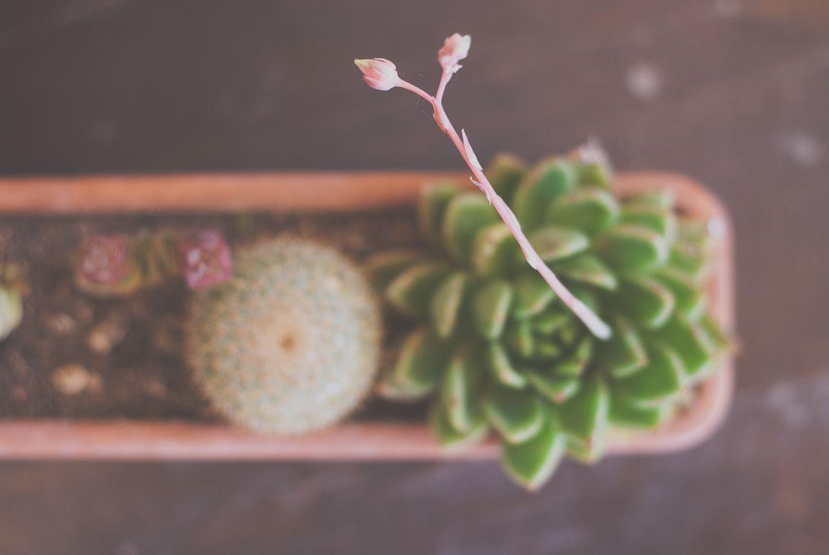 Cactus y suculenta con flor