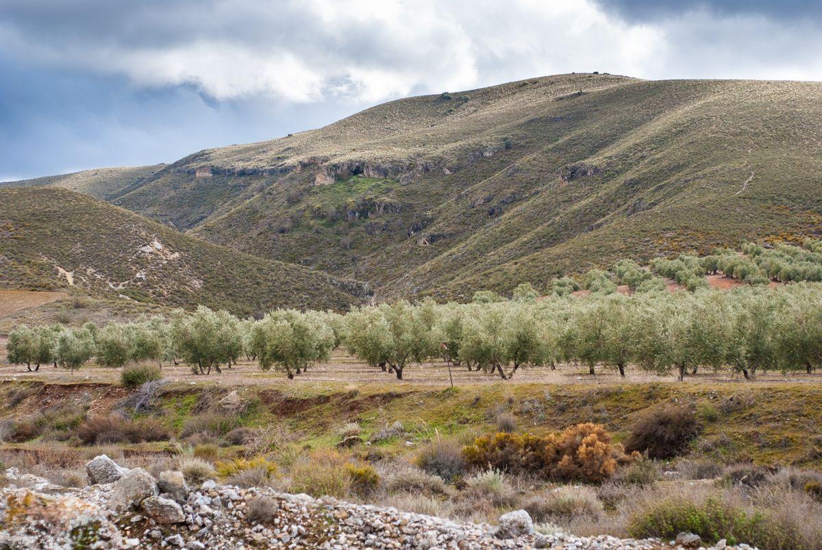 Paisaje con olivos