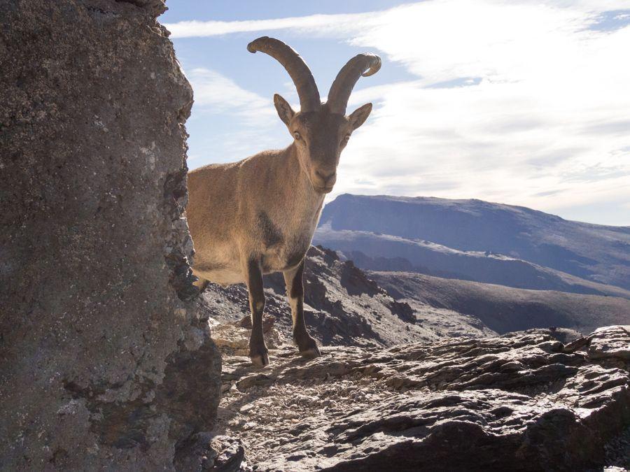 Cabra montés en Sierra Nevada